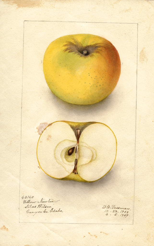 Apples, Yellow Newtown (1909)