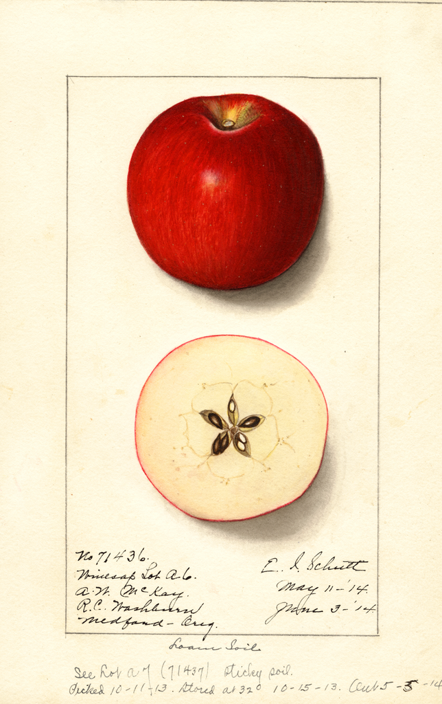 Apples, Winesap (1914)