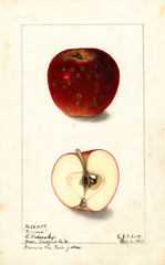 Apples, Winesap (1904)