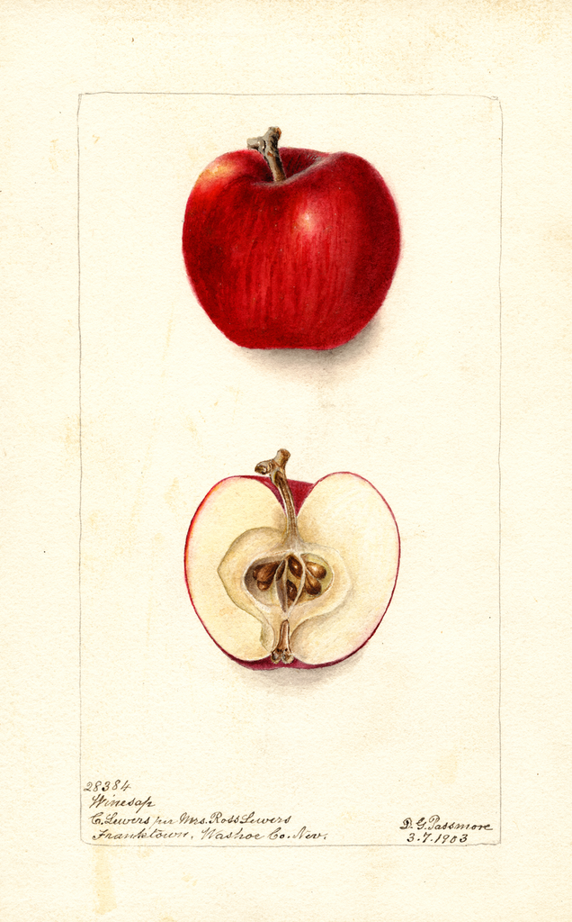 Apples, Winesap (1903)
