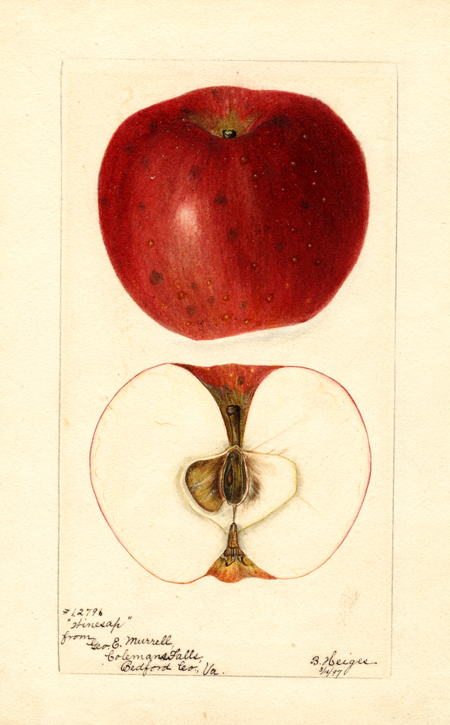 Apples, Winesap (1897)