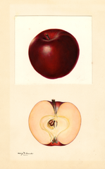 Apples, Red Winesap (1932)