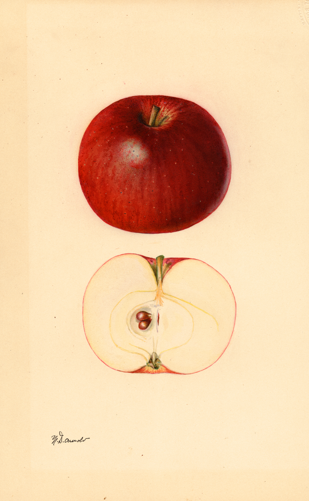 Apples, Wingate (1931)