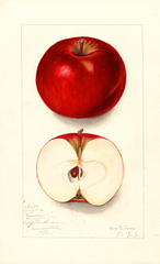 Apples, Winslow (1911)