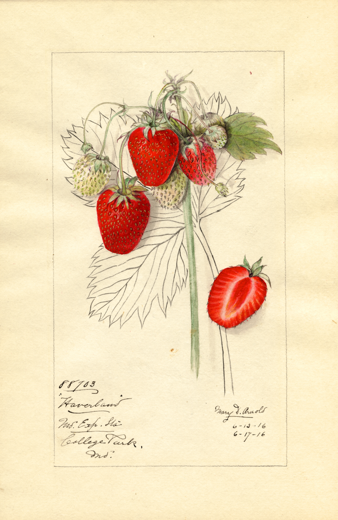 Strawberries, Haverland (1916)