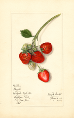 Strawberries, Hazel (1913)