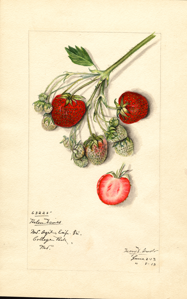 Strawberries, Helen Davis (1913)