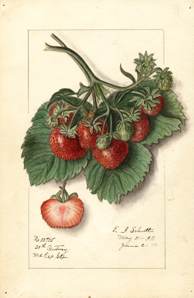 Strawberries, 20th Century (1911)
