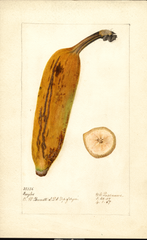 Bananas, Ingles (1907)