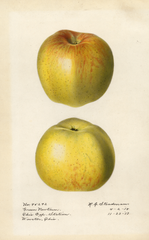 Apples, Green Newtown (1917)