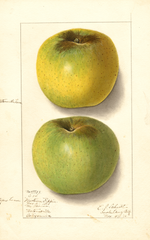 Apples, Newtown Pippin (1910)