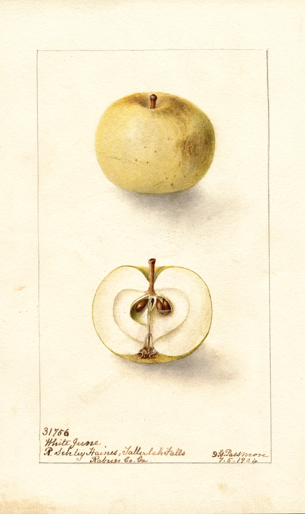 Apples, White June (1904)