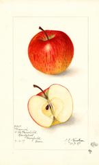 Apples, Wismer (1907)