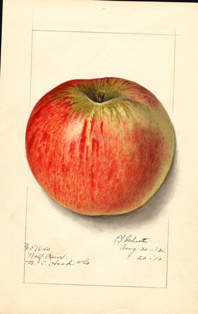 Apples, Wolf River (1912)