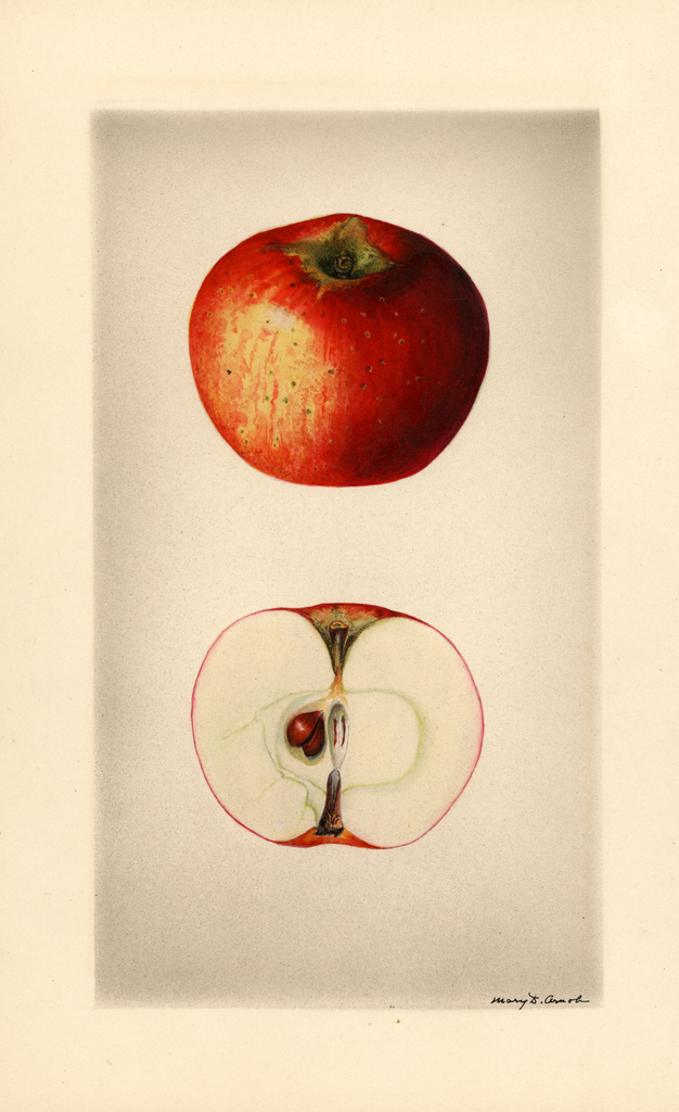 Apples, Worcester Pearmain (1928)
