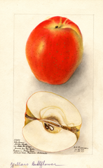 Apples, Belleflower (1905)