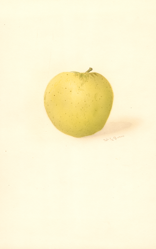 Apples, Belleflower (1909)