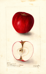 Apples, Ramsdell Sweet (1904)