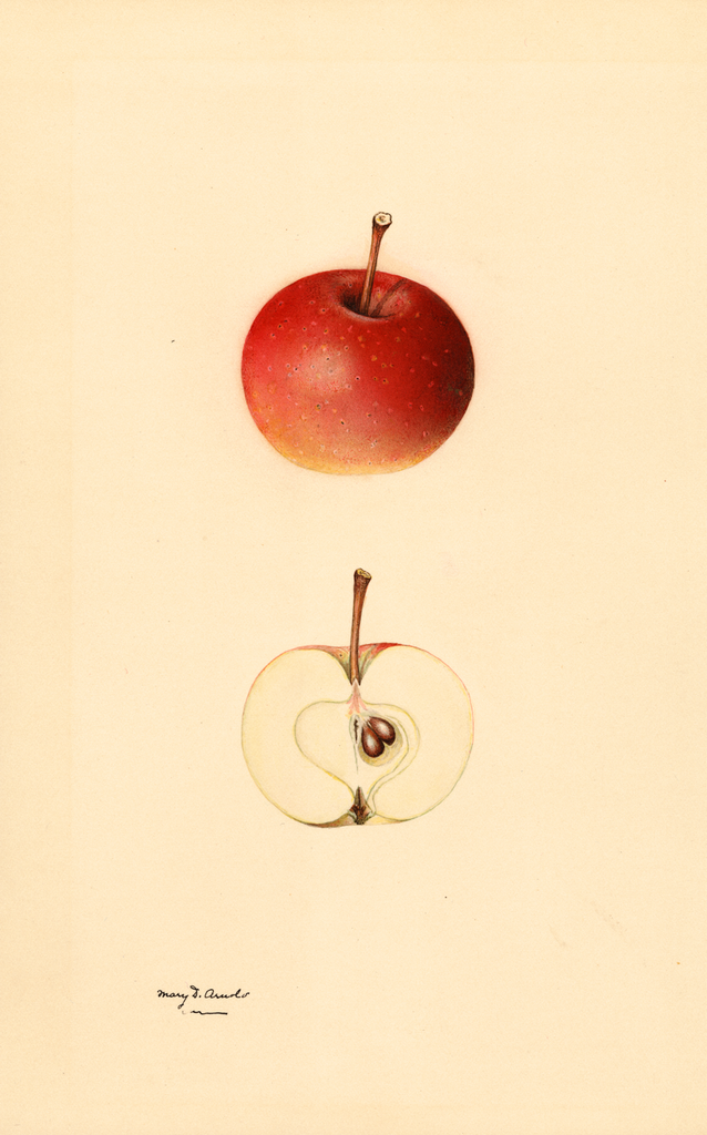 Apples, Kentucky Red (1931)