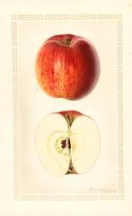 Apples, Sheppards Sweet (1930)