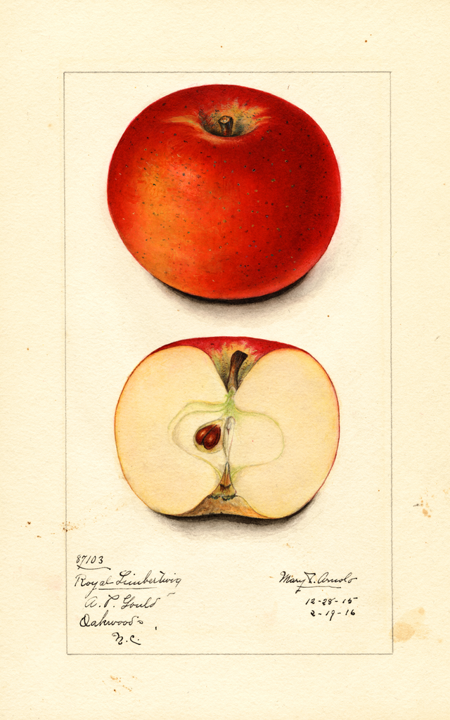 Apples, Royal Limbertwig (1916)