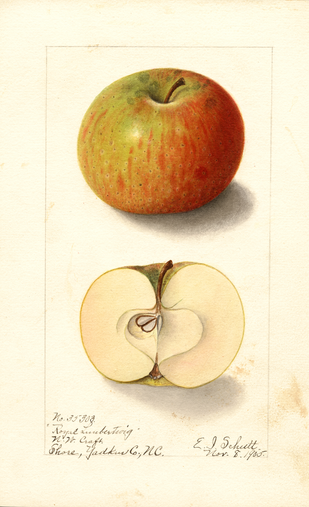 Apples, Royal Limbertwig (1905)