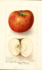 Apples, Royal Limbertwig (1906)