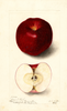 Apples, Royal Red (1904)
