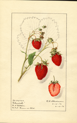 Strawberries, Glendale (1916)