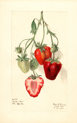 Strawberries, Golden Gate (1910)
