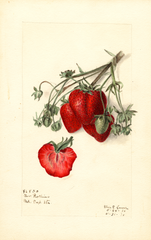Strawberries, Govenor Rollins (1910)