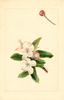 Crab Apple (1910)