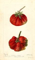 Strawberries, Dew (1897)