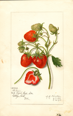 Strawberries, Gibson (1915)