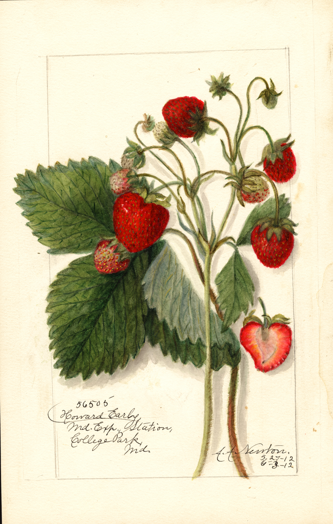 Strawberries, Howard Early (1912)