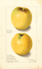 Apples, Yellow Bellflower (1906)