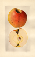 Apples, Yellow Bellflower (1928)
