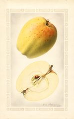 Apples, Yellow Bellflower (1922)