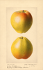 Apples, Yellow Bellflower (1921)