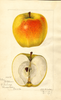 Apples, Yellow Bellflower (1918)