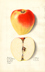 Apples, Yellow Bellflower (1915)