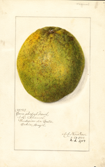 Grapefruits, Cone-shaped Navel (1914)