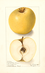Apples, Grahams Royal Jubilee (1907)