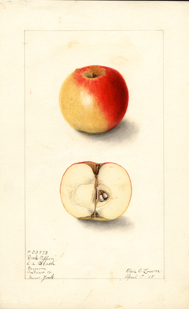 Apples, Rock Pippin (1905)