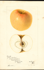 Apples, Yellow Newtown (1897)
