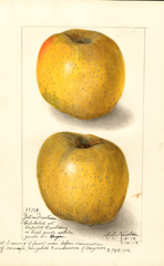 Apples, Yellow Newtown (1912)