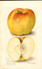 Apples, Yellow Newtown (1906)