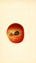 Apples, Winesap (1934)