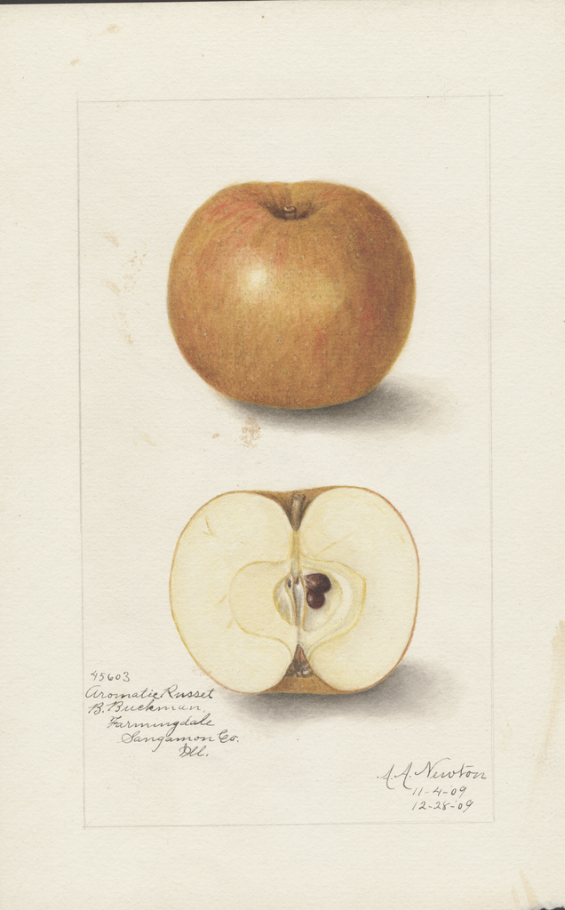 Apples, Aromatic Russet (1909)