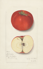 Apples, Ashmore (1912)